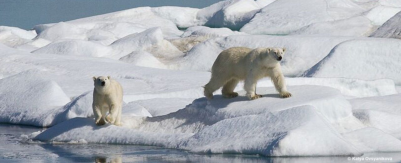 Arctic_TOTW_Polar-Bears