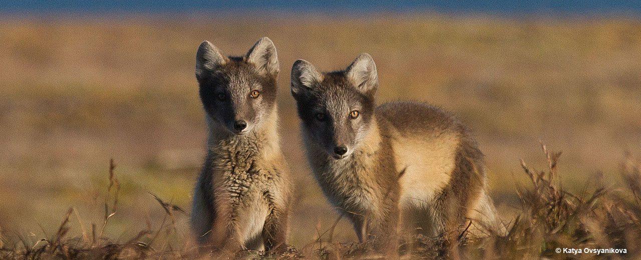 Arctic_TOTW_foxes